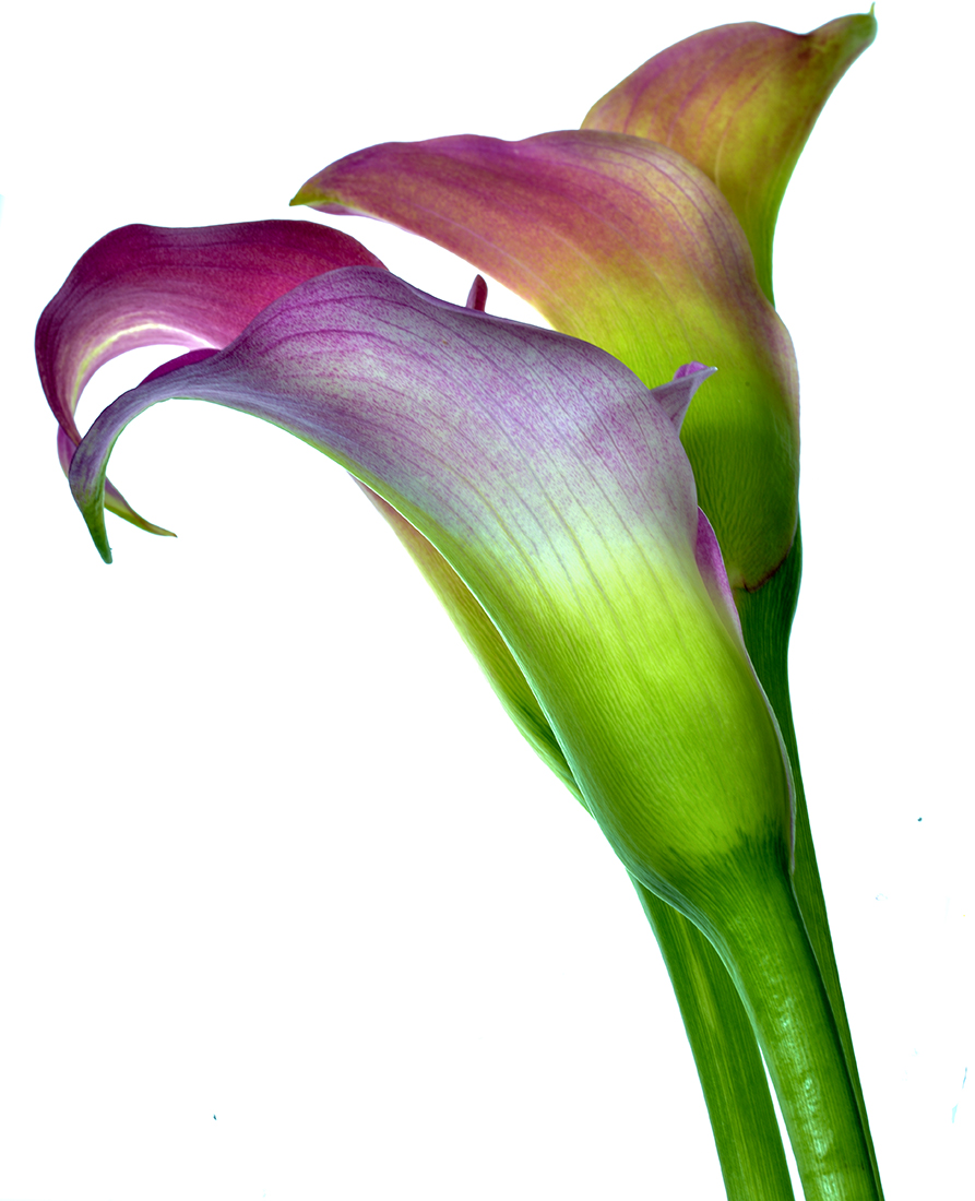 Calla Lillies: Plum & Green