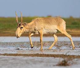 800px-Saiga_antelope_at_the_Stepnoi_Sanctuary.jpg