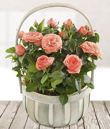 Planted Rose Basket