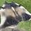 Thumbnail: Cowhide 79