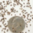 wild bergamot seed.PNG