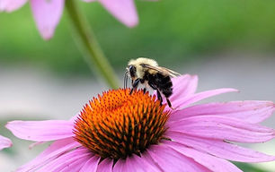 Two-Spotted Bumble Bee Emilie janes.JPG