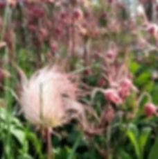 Prairie Smoke 1.jpg