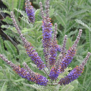 Lead Plant_Amorpha canescens_in flower_e
