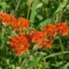 butterfly-weed-2393621_1920.jpg