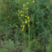 Prairie Dock_Silphium terebinthinaceum f
