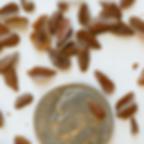 swamp milkweed seed.PNG