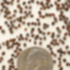 royal catchfly seed.PNG
