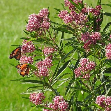 Monarch and Swamp Milkweed Emilie Janes_