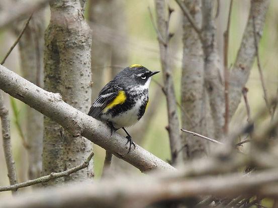 yellow rumped warbler2.jpg