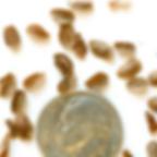 whorled milkweed seed.PNG