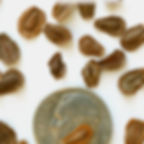 common milkweed seeds.jpg