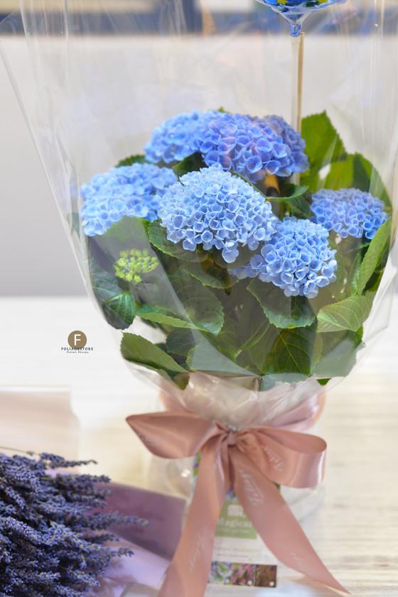 [ 特別號外 ] 特別版限量 - 荷蘭珍珠繡球