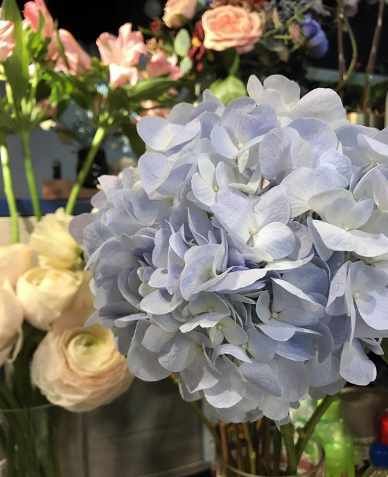 New Zealand Hydrangea's (Light Blue) available