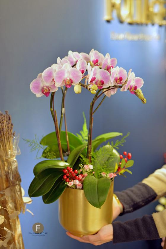 蝴蝶蘭年花, 裝飾漂亮的家居, 辦公室或送禮