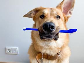 Koirien ja kissojen hammashoito - Miksi? Milloin? Miten?