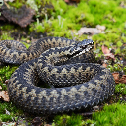European viper bites in dogs and cats