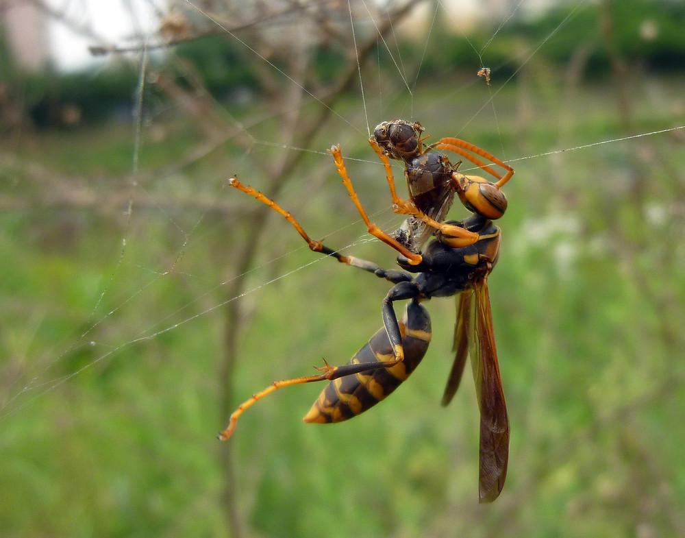 Pattaya Thailand Paper Wasp