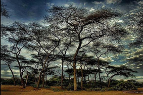 Trees in Somaliland