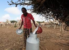 Camel Milk in Somaliland
