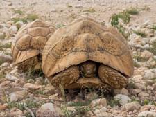Tortoise in Somaliland