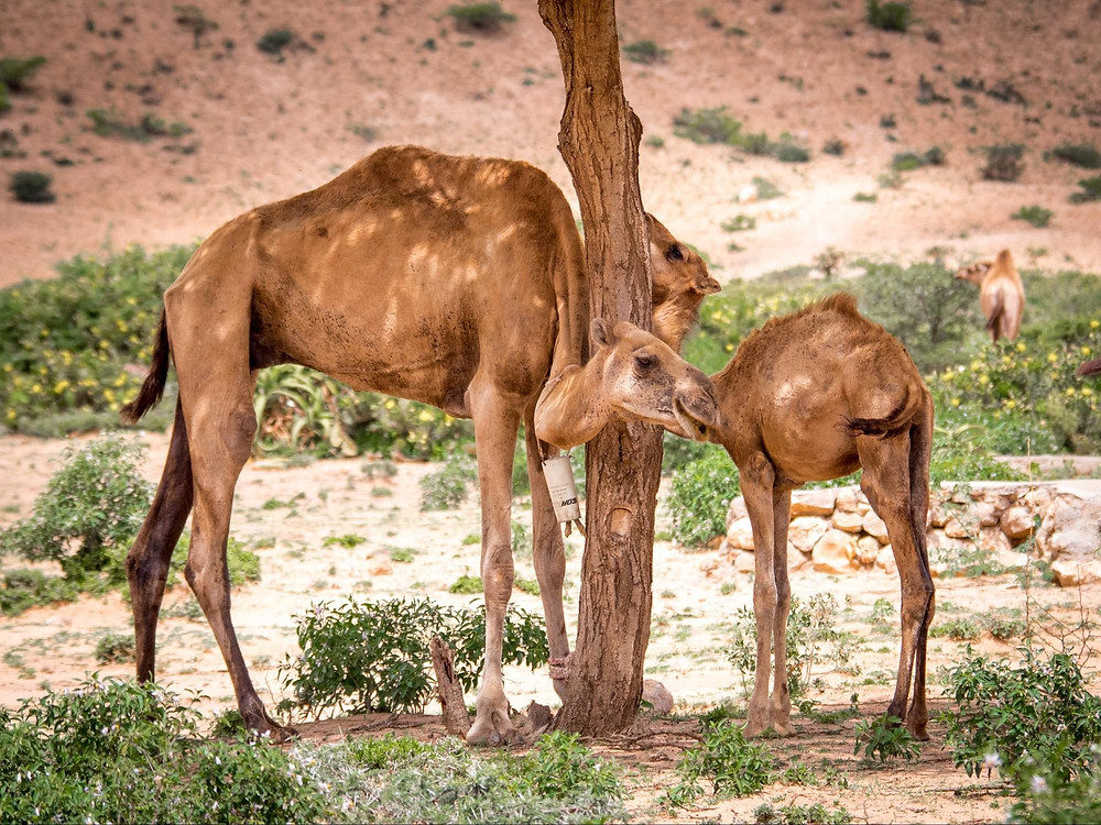 Wild camels in the unrecognized country of Somaliland