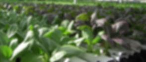 Lufa_Farms_Bok_Choy_in_NFT_System.jpg