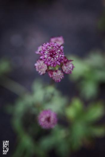 Stjärnflocka, växtplanering