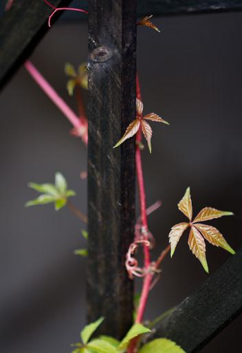 Klätterväxt, vildvin