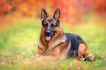 Beautiful german shepherd dog lay in aut