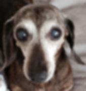 Photo of BETravel's dachshund ambassador Brynn