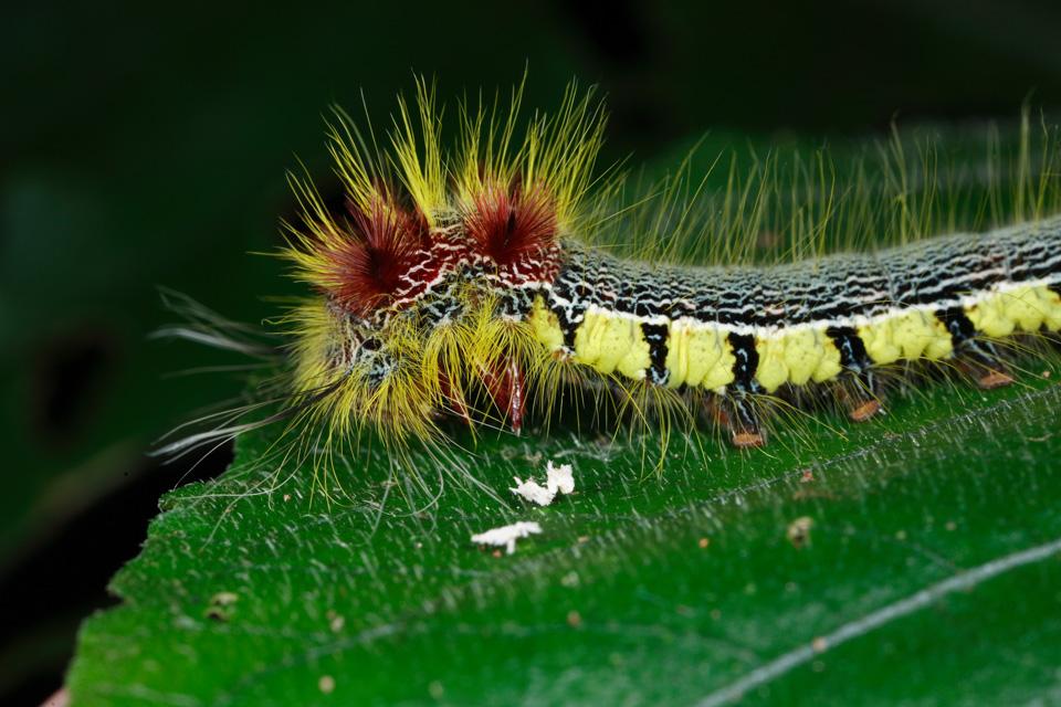 Caterpillar, Madagascar