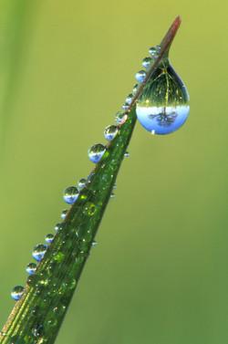 Oak Tree Refracted in Dewdrops