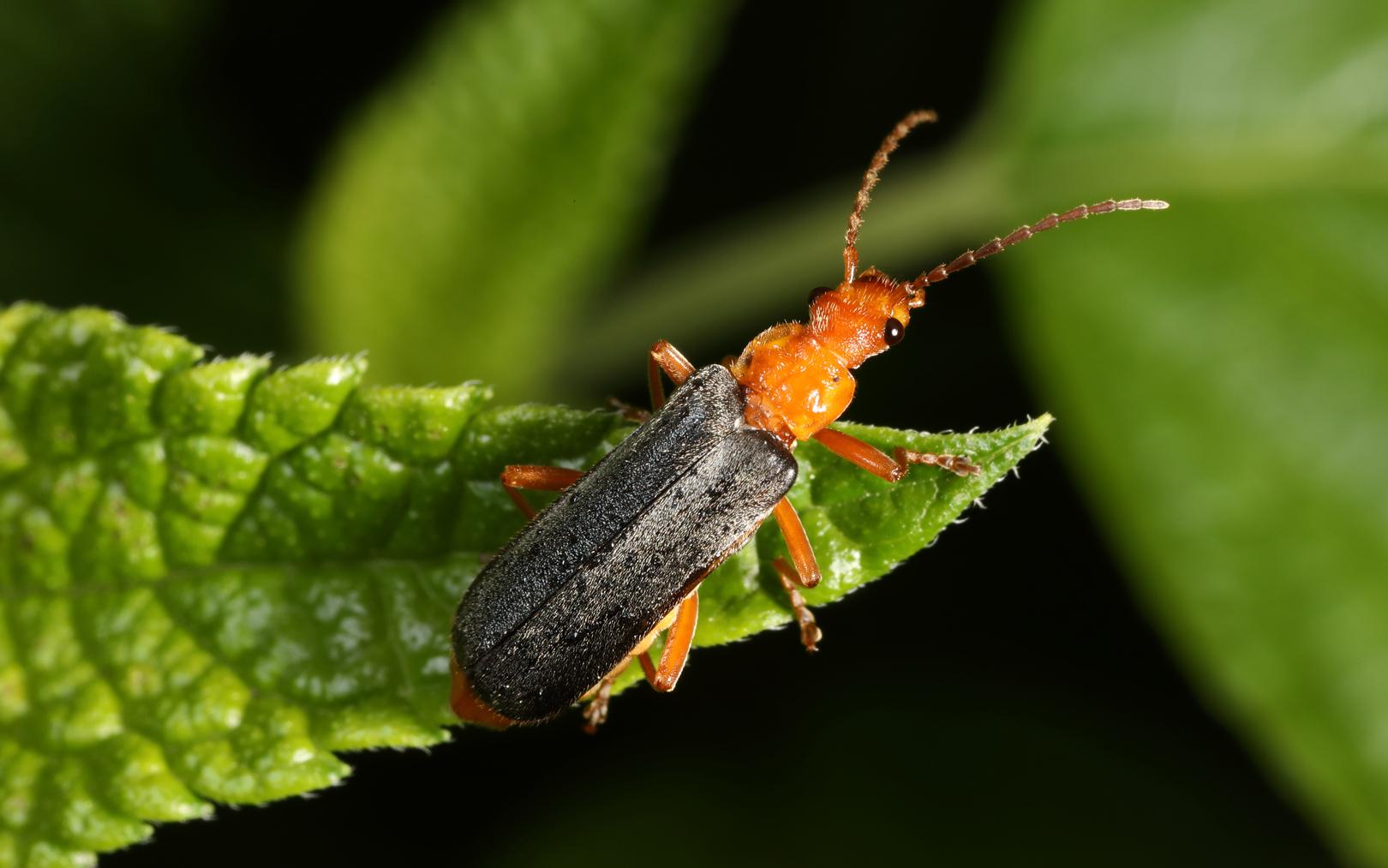 Soldier Beetle (Podabrus sp.)