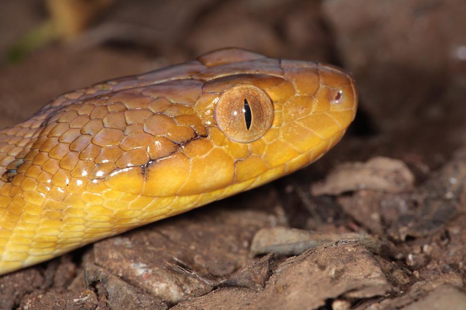 Malagasy Cat-eyed Snake