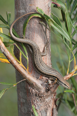 Madagascar Girdled Lizard