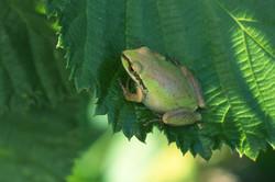 Pacific Treefrog on Leaf