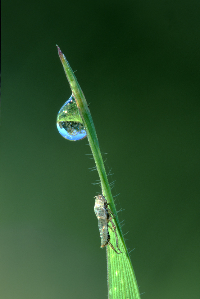 Dewdrop on Grass with Insect
