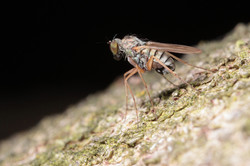 Close-up of Fruit Fly