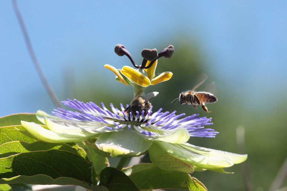 Passion Flower With Honeybee