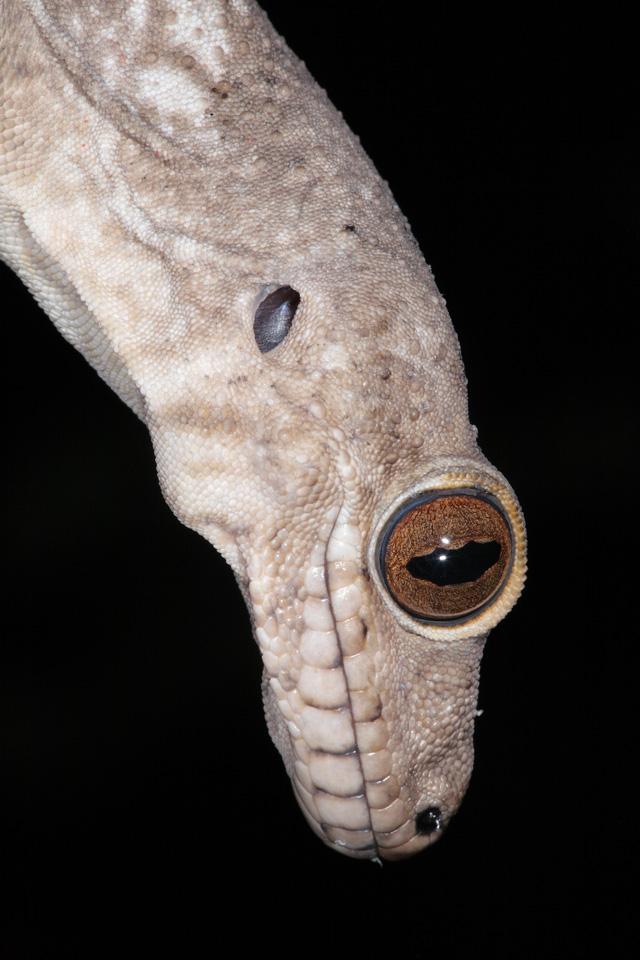 Velvet Gecko at Night