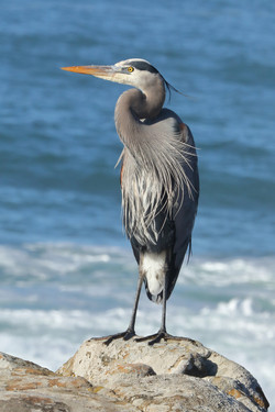 Great Blue Heron, Salt Point