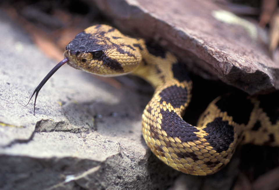 Northern Black-tailed Rattlesnake