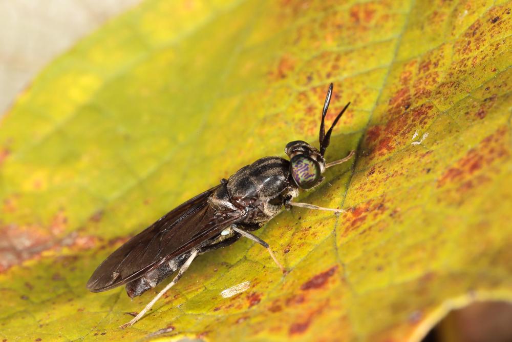 Black Soldier Fly on Grape Leaf
