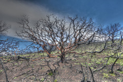 Manzanita Five Months Post Sugarloaf Fire