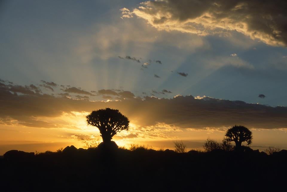 Kokerboom (Quiver) Tree at Sunset