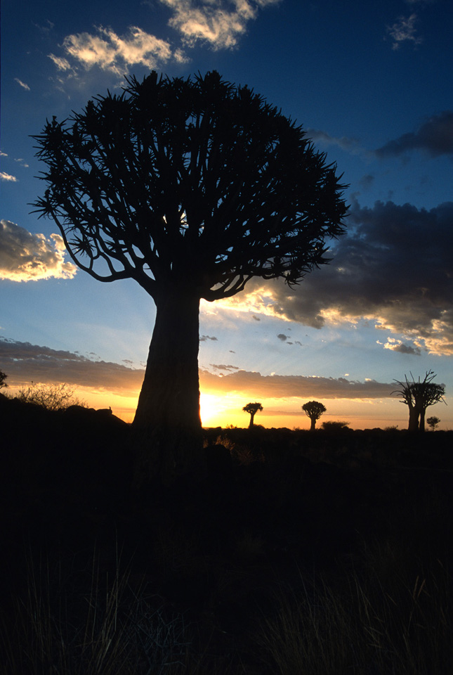 Kokerboom (Quiver) Trees at Sunset