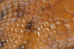 Malagasy Cat-eyed Snake, detail