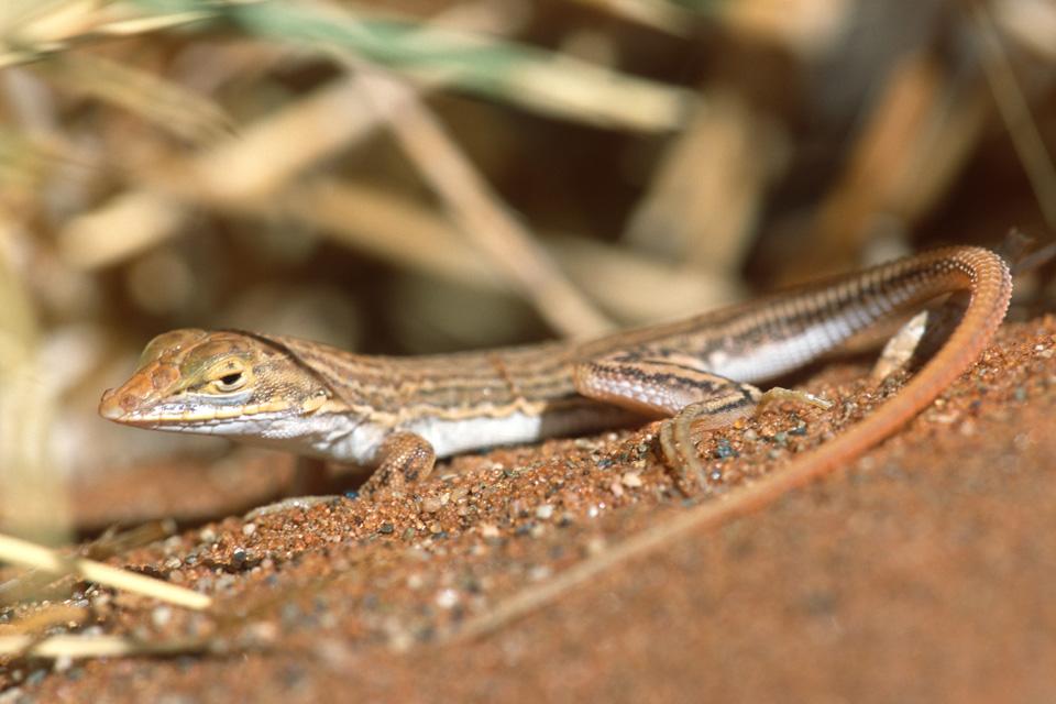 Shovel-snouted Lizard