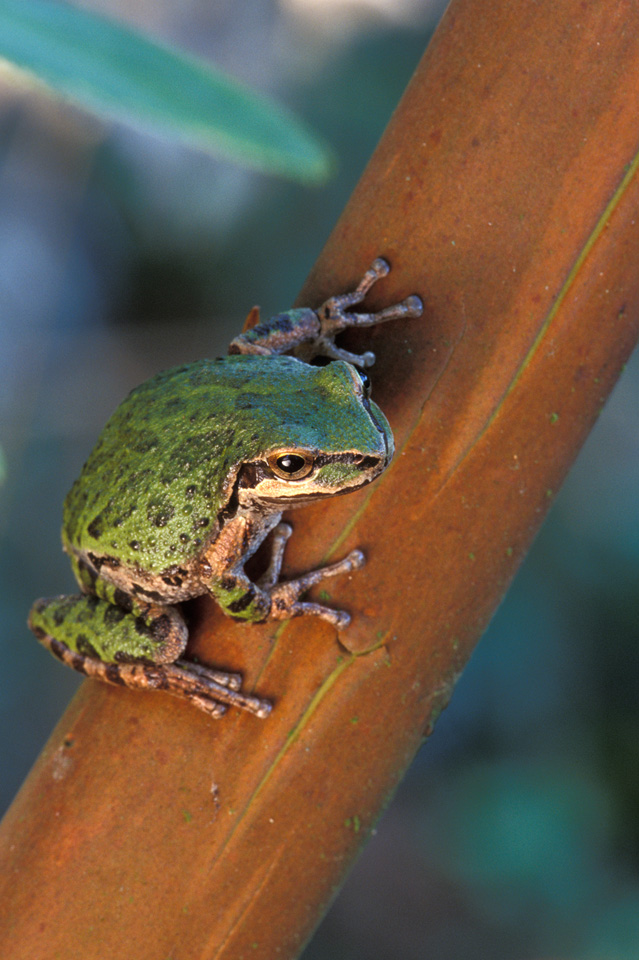 Pacific Treefrog on Madrone Branch